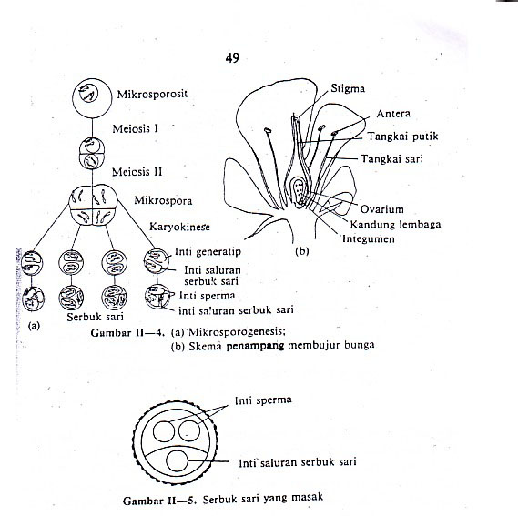 Tempat Proses Hasil Mikrosporogenesis Dan Makrosporogenesis Pada Tumbuhan Angiospermae Tips Petani