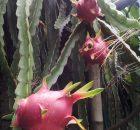 Cara merawat pohon buah naga yang baik dan benar