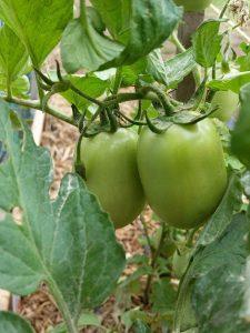 Penjadwalan irigasi yang baik pada tanaman tomat membuahkan hasil yang bagus dan berkualitas