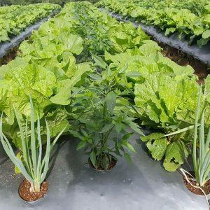 Irigasi Lahan Pada Tanaman Sayur Mayur