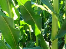 Tanaman jagung berdaun segar karena bebas gulma