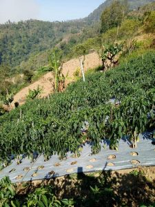 Tanaman cabe ditanam di lahan perbukitan dengan kondisi panas
