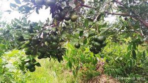 Pohon jeruk manis berbuah lebat di kebunku