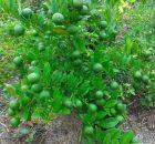 Pohon jeruk berbuah lebat dengan cara dilakukan penyiangan dan pendangiran secara rutin