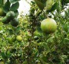 Pohon jeruk berbuah lebat di kebunku