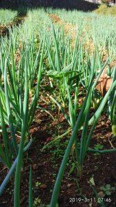 Teknik penyiangan dan pendangiran pada tanaman bawang merah