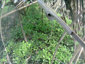 Dormansi biji diikuti dengan pertumbuhan dan perkembangan tanaman