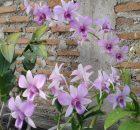 Cara Budidaya Bunga Anggrek yang Sangat Menguntungkan