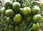 Pohon jeruk manis BW berbuah sangat lebat