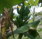 Buah pisang sudah tua