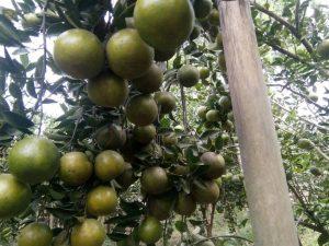 pohon jeruk madu manis
