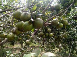 pohon jeruk madu berbuah lebat dan rasa buahnya sangat manis