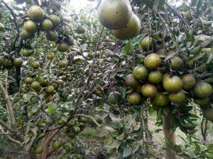 pohon jeruk manis berbuah lebat