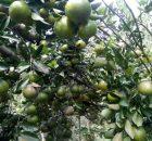 pohon jeruk berbuah lebat
