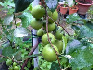 Apel Futsa/Apel India Berbuah dalam Pot