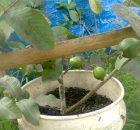 Tabulmapot menggunakan ember cat bekas