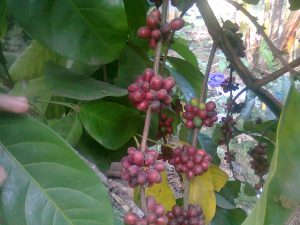 Tanaman kopi berbuah lebat