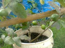 Tanaman jambu biji hasil cangkok berderet