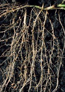 Bakteri Rhizobium pada nodul akar tanaman kacang-kacangan