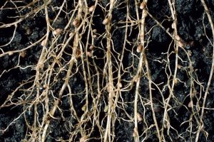 Macrophotograph of root nodules on the roots of white clover, ^ITrifolium repens^i, caused by the nitrogen- fixing bacteria ^IRhizobium ^I^Itrifolii^i. The bacteria convert atmospheric nitrogen into a usable organic form, something the clover cannot do itself, but which is imperative for its survival. Bacteria infect the plant through root hairs, forming an infection thread, which conveys them from the entry point to the nodule site. Here they divide repeatedly, swell, and are renamed bacteroids. The nodule consists of a central region filled with bacteroids surrounded by a spongy region, the cortex. Magnification: x0.6 at 35mm size.