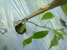 Bibit cabe baru dipindahkan di lahan bedengan bermulsa