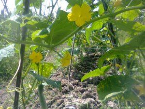 pertumbuhan tanaman mentimun kurang optimal karena gulma