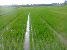 System of Rice Intensification (SRI)