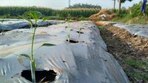 Pemberian sedotan plastik pada bibit tanaman cabe yang baru dipindahkan ke lahan bedengan