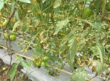 daun tomat mengering dan rusak karena kesuburan tanah menurun