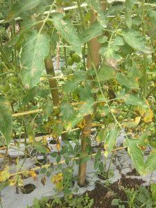 daun tomat rusak dan mengering akibat kekurangan unsur hara