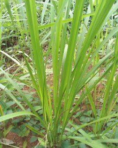 rumput ilalang