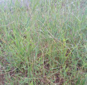 rumput putihan