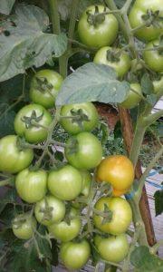 tomat rampai diberi tiang ajir sebagai penopang batang dan akarnya agar tidak roboh