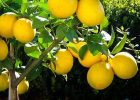 Bibit jeruk lemon