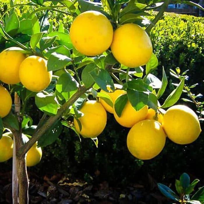 Pemupukan Jeruk Lemon Dengan Pupuk Kandang Agar Berbuah Lebat Tips Petani