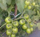 Tanaman tomat tumbuh subur dengan pengaturan drainase air yang tepat
