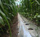 Tumpangsari jagung dan cabe