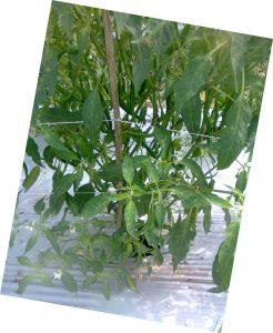 Tanaman cabe diberi lanjaran dari bilah bambu