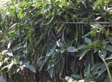 Daun cabe tetap lebar, berwarna hijau dan berbuah lebat