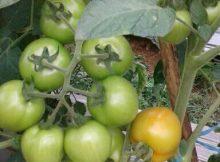 tomat rampai diberi tiang ajir sistem tugal