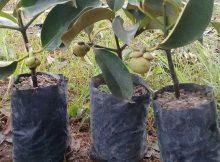 Tanaman buah cocok ditanam di musim hujan