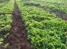 budidaya kencur di lahan bedengan tumbuh subur