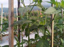 pemasangan tiang ajir pada tanaman cabe menggunakan bilah bambu yang dipotong-potong, (Wahid Priyono, S.Pd.)