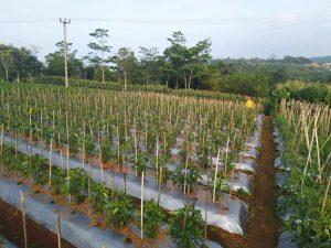 tanaman cabai diberi tiang ajir sebagai penopang tanamannya, (Wahid Priyono, S.Pd.)