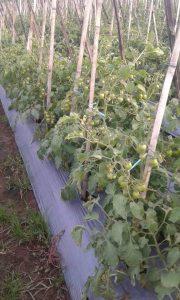 Tanaman tomat dalam perawatan yang intensif agar terbebas dari hama dan penyakit