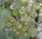 Tanaman tomat tumbuh subur dan berbuah lebat karena terbebas dari hama dan penyakit
