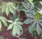 Pohon singkong