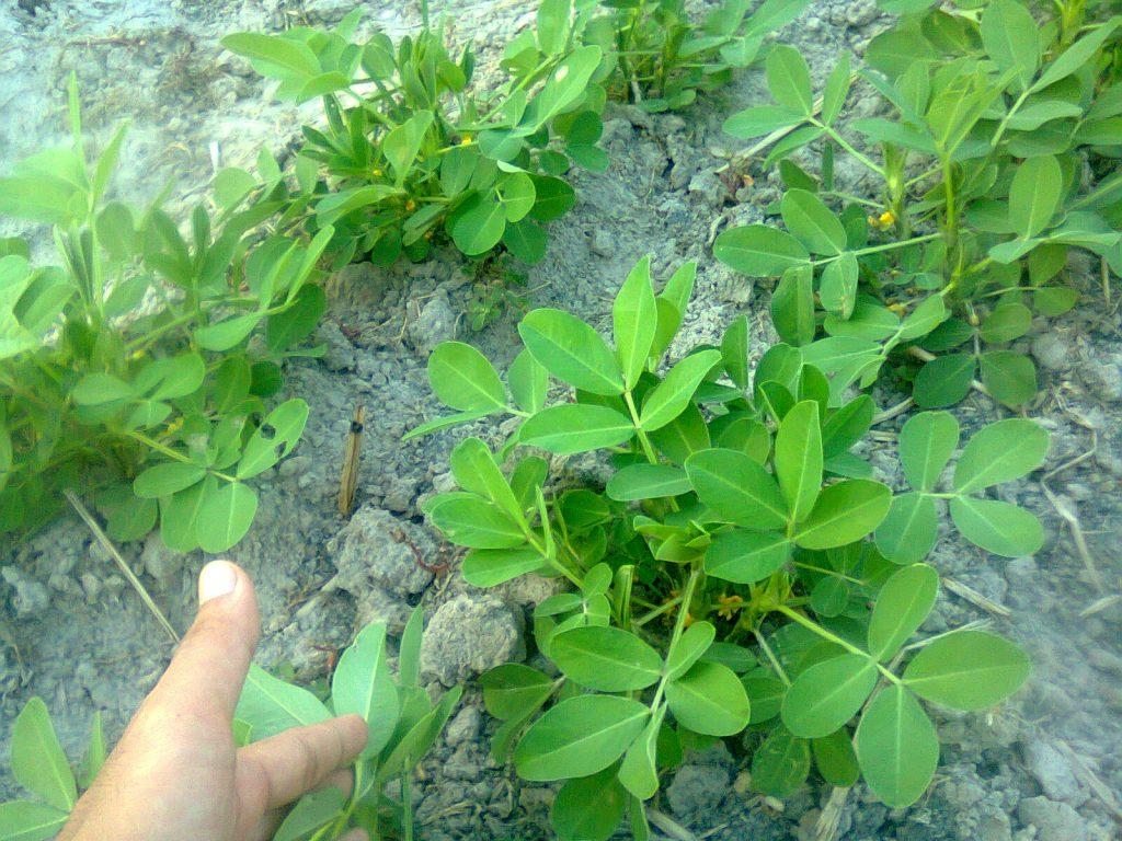 pada akar tanaman kacang tanah banyak mengandung bakteri Rhizobium leguminosarum