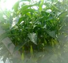 Tanaman cabai subur dan bunganya tidak gampang rontok