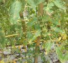 daun tomat rusak